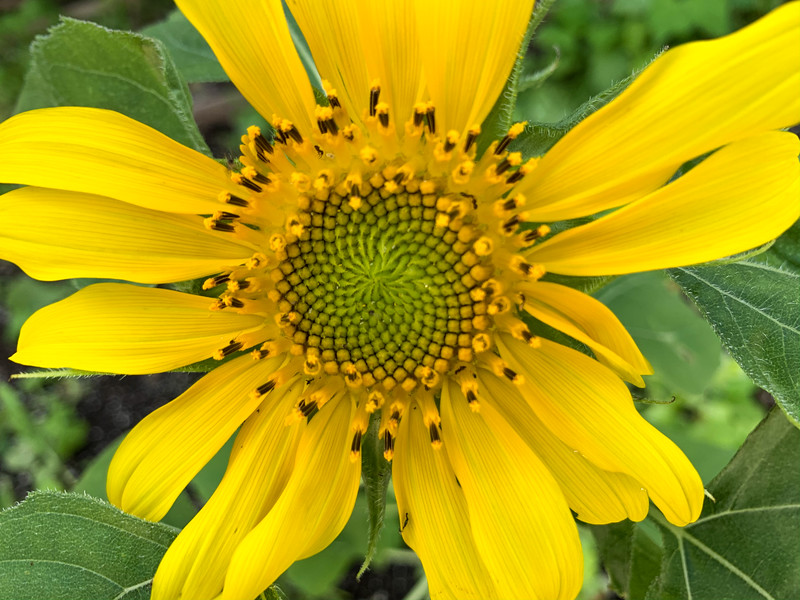 sunflower phone alone