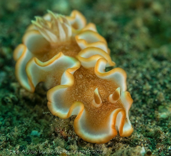 Glossodoris rufomarginata