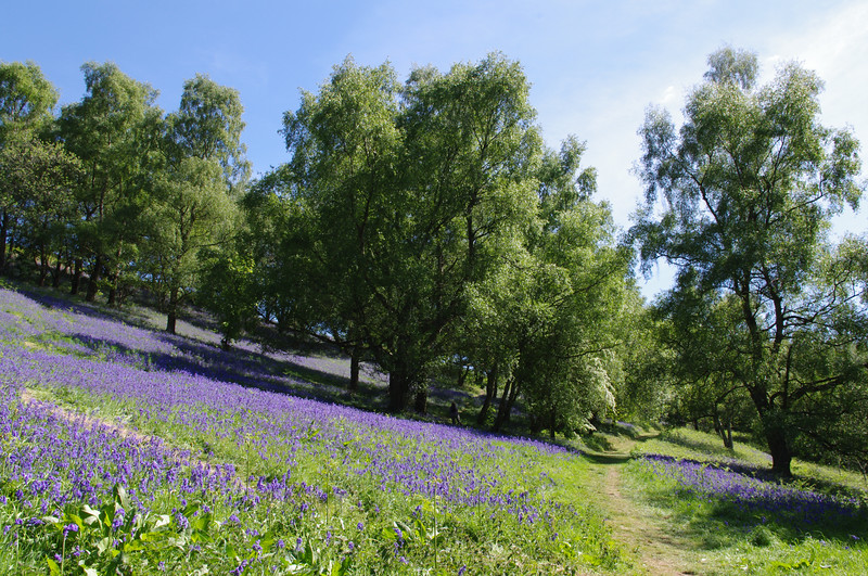 Hillside trees amongst bluebells, Malvern.jpg