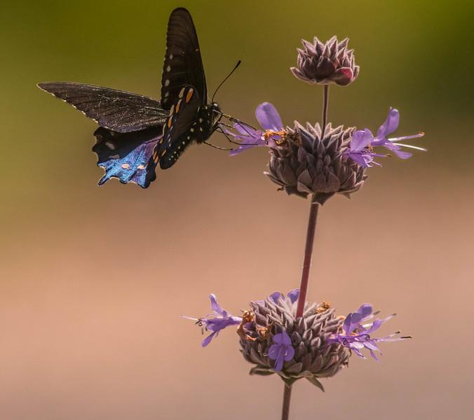 Pipeline Swallowtail