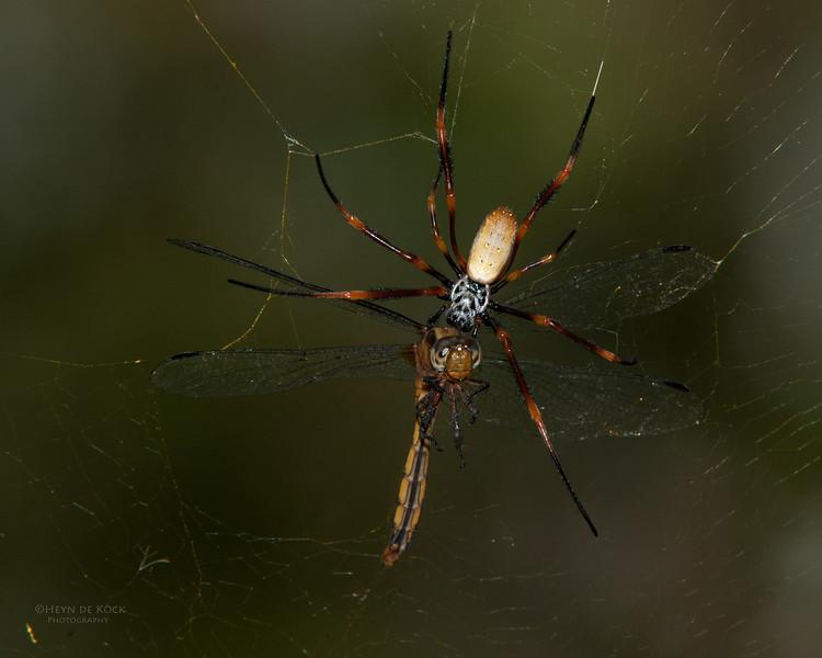Orb-web Spider, Nudgee Beach, QLD, Feb 2011-2.jpg