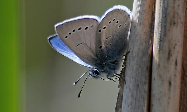 Misc Butterflies