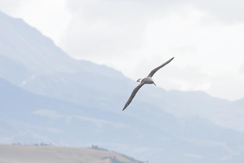 Salvin's Albatross Kaikoura, NZ December, 2010 IMG_7220