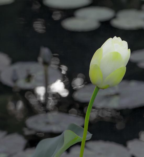 Lily  Pond 11