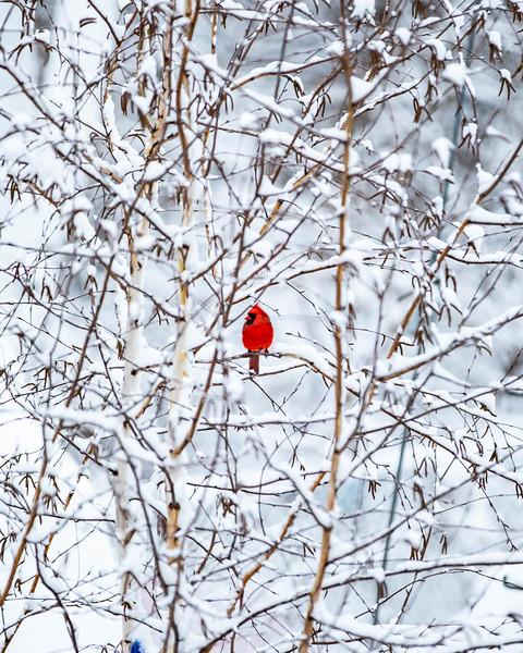 Cardinal_02.jpg
