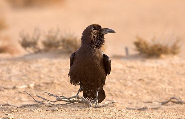 Raven & Crow - עורבים,עורבני קאק