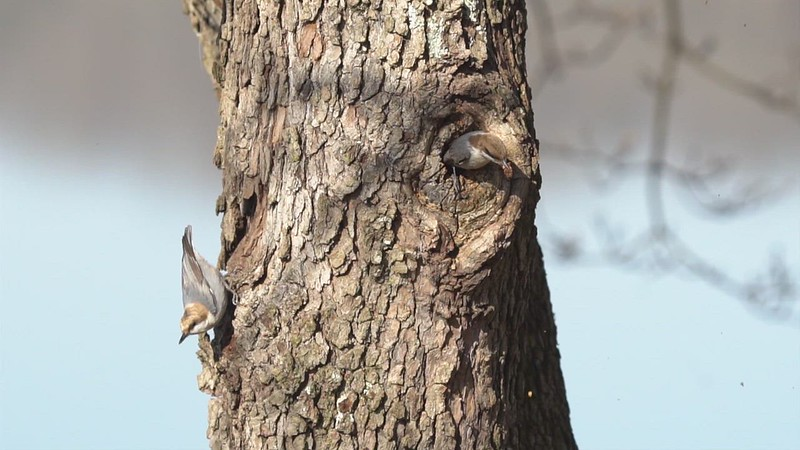 nuthatch nesting cavity day two_mp4.MP4