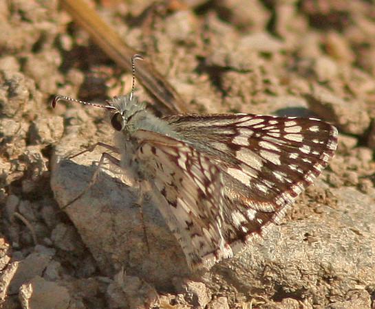 WB~Butterfly las gallinas660.jpg