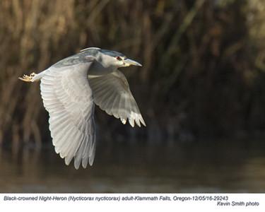 Black-Crowned Night-Heron A29243.jpg
