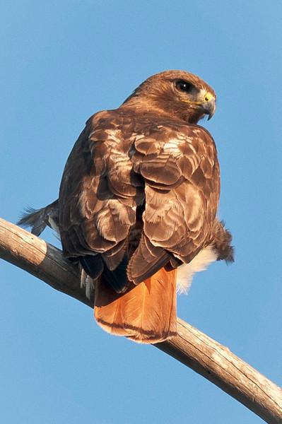 Red Shouldered Hawk Loxahatchee South NWR Parkland, FL © 2012