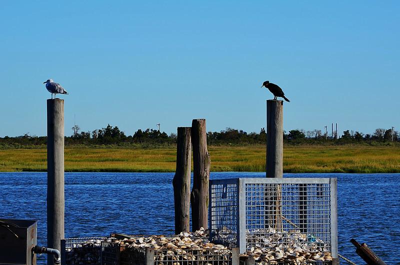 Cormorant Seagull Traps.jpg
