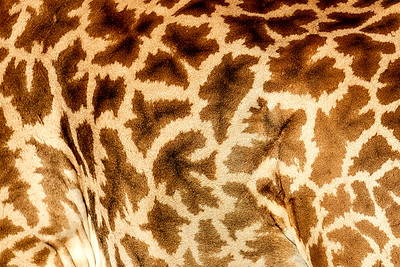 Giraffes  (Giraffidae)
