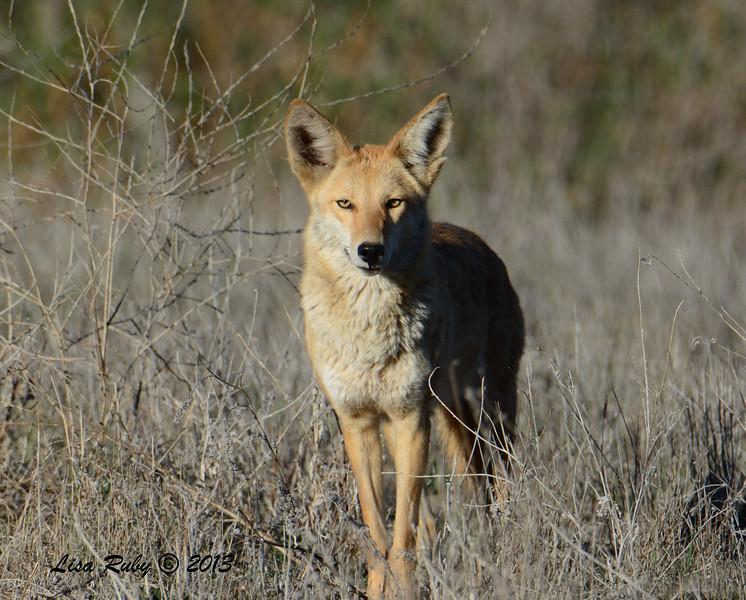 Coyote - 12/30/2013 - San Pasqual Valley