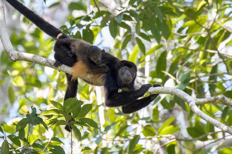 Howler Monkeys; Costa Rica