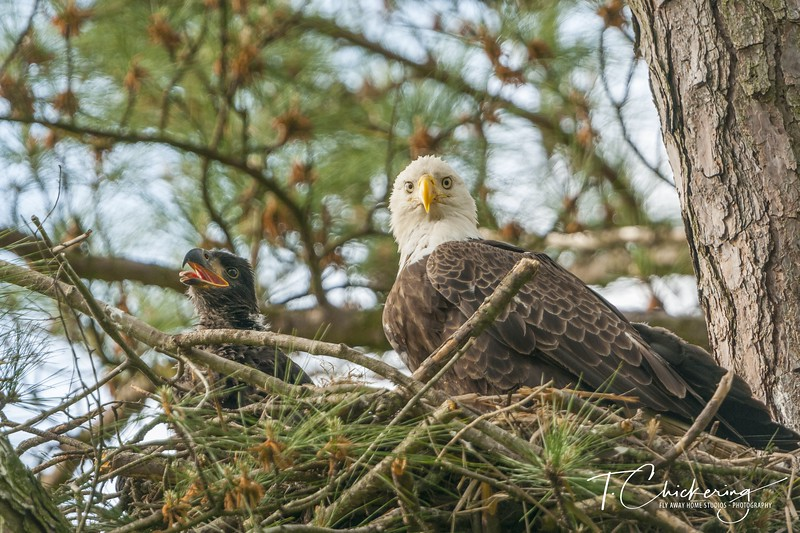 Bald Eagle Parent and Eaglet-1556585709478.jpg
