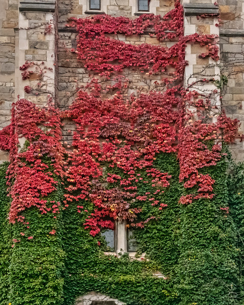 Christmas colors in ivy on the east end of the Law Library