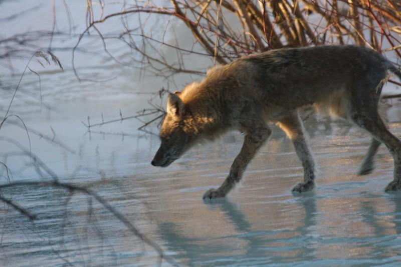 Coyote with mange near Brighton Beach Duluth MN IMG_0713.jpg