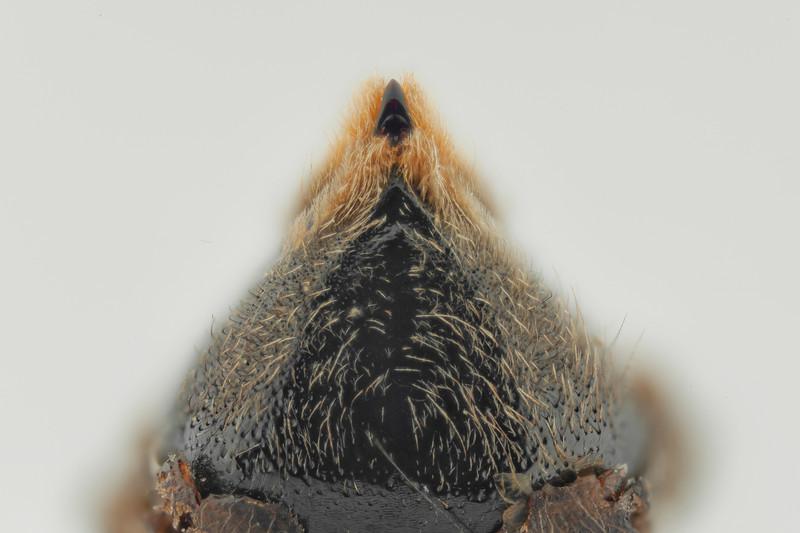 Bombus sylvestris, ryggledd