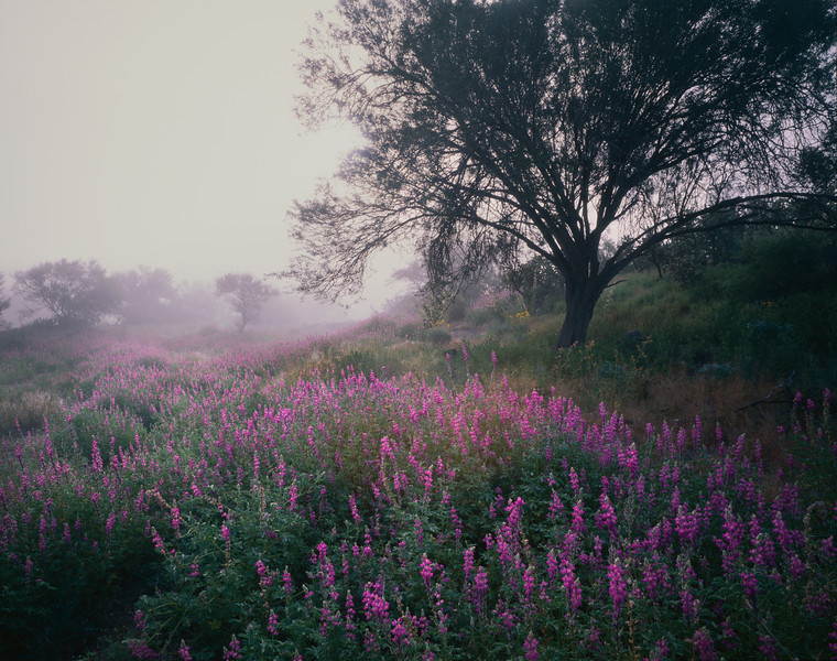 Tres Virgenes, Baja Sur, MEX/Fields of lupine (Lupinus sp.) with morning fog shrouded mesquite (Prosopis velutina) at volcano's base. 393h10