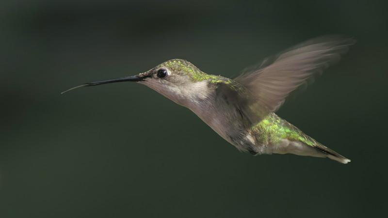 sx50_hummingbird_hif_129.jpg