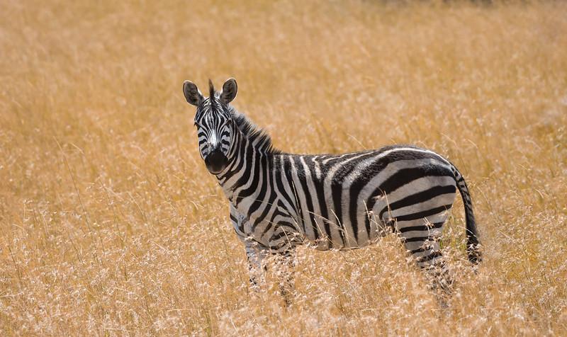 Zebra in the grass - www.rajguptaphotography.com