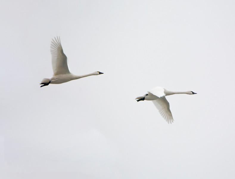 IX1980 Whistling Tundra Swan.jpg