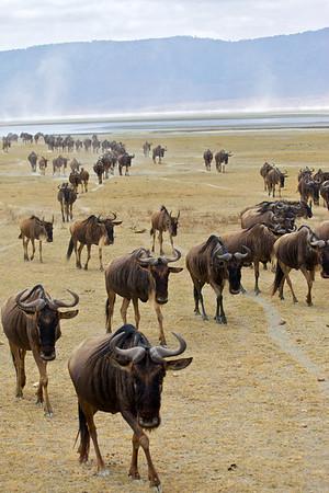 Wildebeest etc. (Alcelaphini)