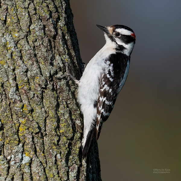 Downy Woodpecker, Standing Bear Lake, NE, USA, May 2018-2a.jpg