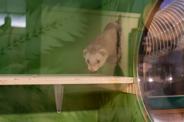 02/01/19 Wesley Bunnell | Staff A ferret makes his way though suspended plastic tubing into his home at the New Britain Youth Museum at Hungerford Park. New Executive Director Tom Pascocello has updated many of the museum's exhibits since taking over.