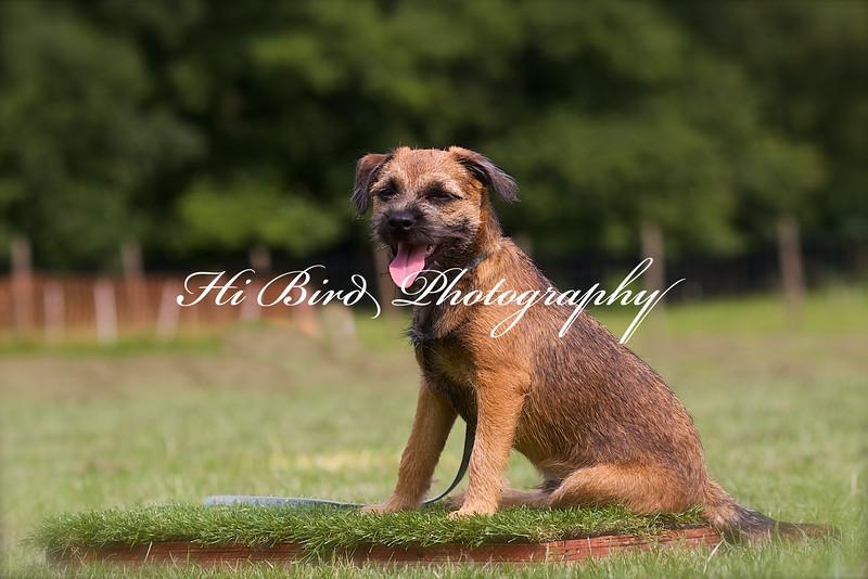 Border terrier 1916.jpg