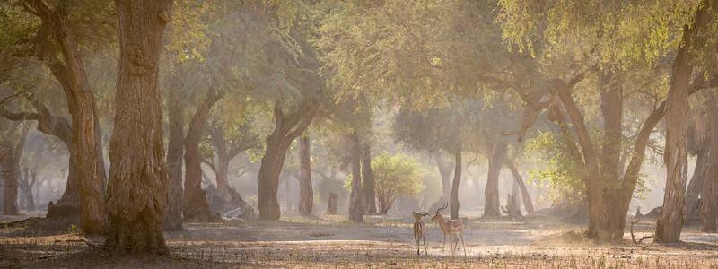 Impala bucks in morning forest, Mana Pools National Park