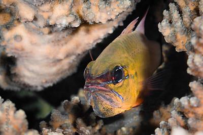 FISH - cardinalfish male with eggs-4349-Edit