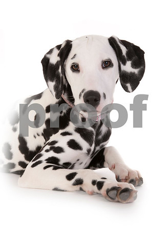 Humpries Dalmation