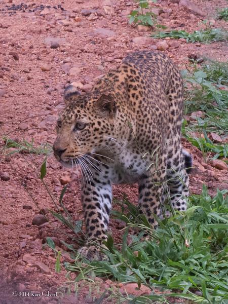 LeopardK-3.jpg