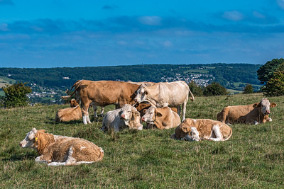 Cows on Rodborough Common