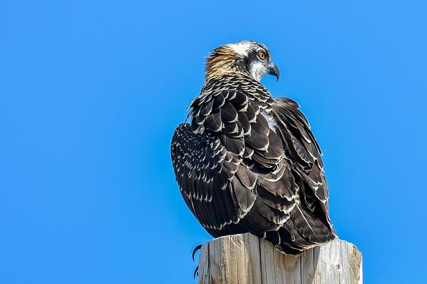 8 2013 Aug 14 Juvenile Ospreys & Nest*