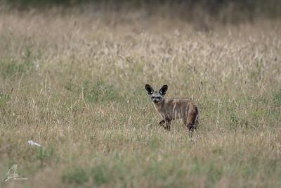 Fox, Bat-eared (spp. virgatus)