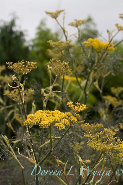 Foeniculum vulgare_043.jpg