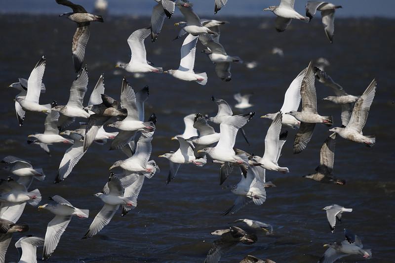 Gulls on Lake Erie