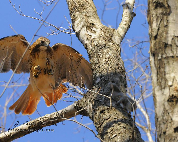 redtail hawk, squirrel chase 1.JPG