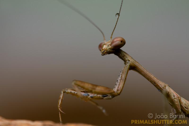 Small praying mantis portrait