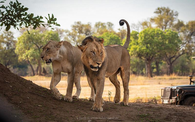 Mfuwe_lions_7735cc2fxcrop-web.jpg