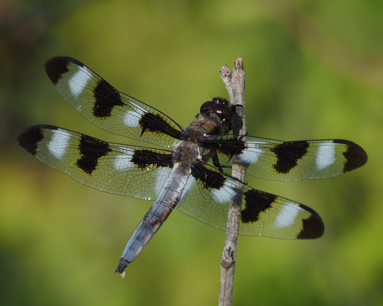 Twelve Spotted Skimmer, male