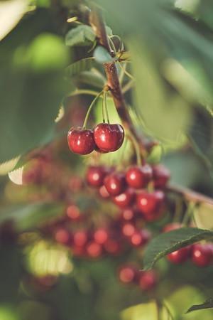 Quincy Basin Red Cherries | 2021