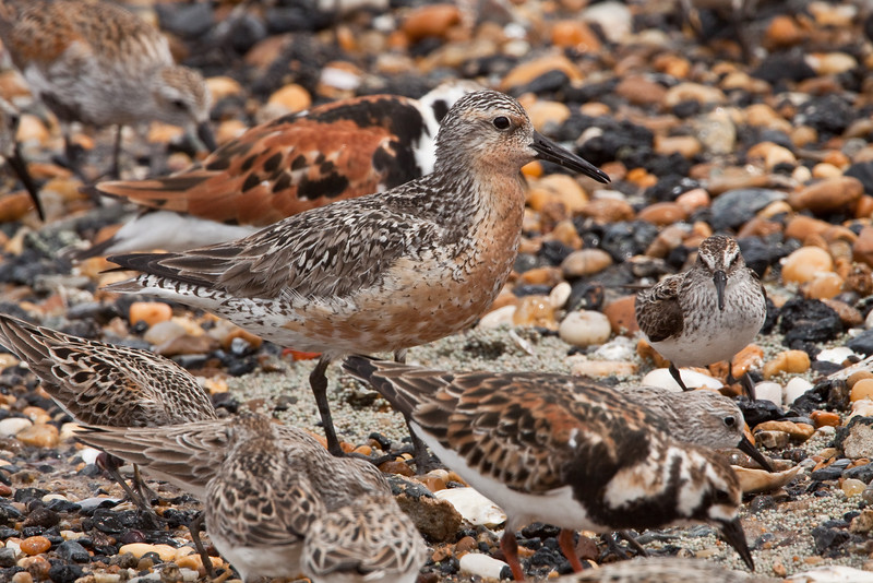 Red knot feeding on Horseshoe crab eggs in Delaware Bay.