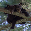 Image of two of Samantha's three cubs taken July 2012.  They were born January 2012 and Samantha was born 2009.  Ursus americanus (American Black Bear).