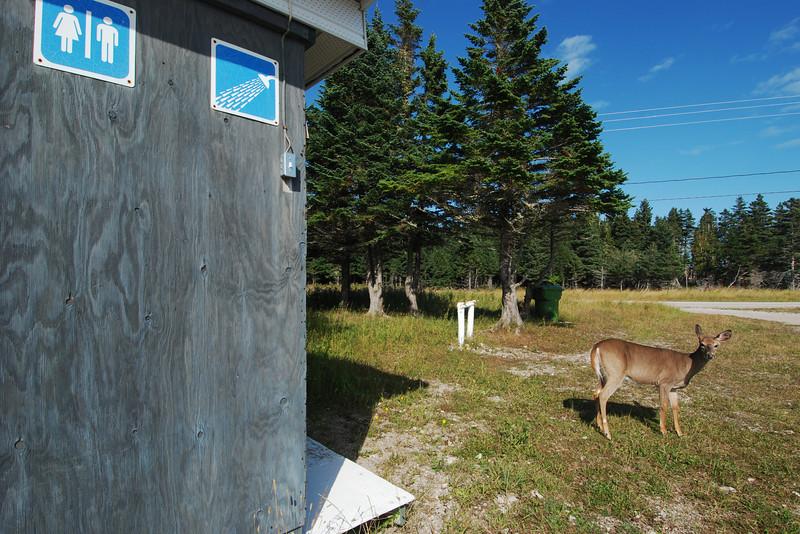 Cerf de Virginie (chevreuil) au camping municipal de Port-Menier - Île d'Anticosti, Québec