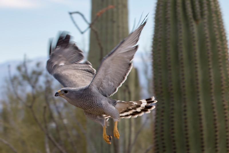 Gray Hawk in flight.jpg