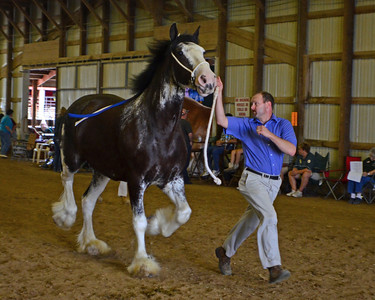 564 Brood Mare 4+ Clydesdale