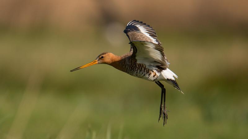 Black-tailed Godwit, Limosa limosa. Ilperveld, The Netherlands.